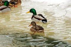Mallard Duck. Stock Photos