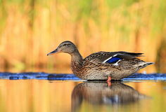 Mallard duck Anas platyrhynchos Royalty Free Stock Photography