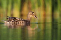 Mallard duck Anas platyrhynchos Stock Photography