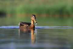 Mallard duck Anas platyrhynchos Stock Image