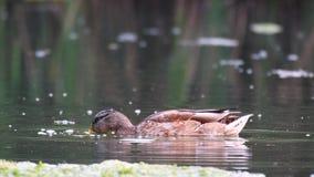 Mallard duck anas platyrhynchos in natural habitats. stock footage