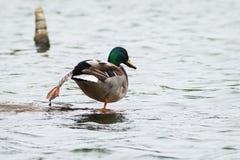 Mallard Duck. (Anas platyrhynchos platyrhynchos) extends its leg Stock Image