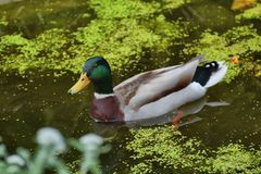 Mallard duck Anas platyrhynchos on a small garden pond. stock photos