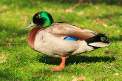 A male mallard duck in breeding plumage. A mallard duck Anas platyrhynchos standing on grass, showing off his mating season markings of a bright green head and Stock Images