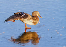 Female mallard duck. Mallard duck, Anas platyrhynchos stretching on a frozen lake in winter Royalty Free Stock Photography