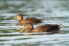 Mallard Duck Anas platyrhynchos on the Thames. Mallard Duck Anas platyrhynchos swimming along the thames royalty free stock photography
