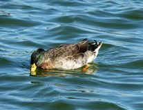 Mallard Duck (Anas platyrhynchos). Mallard Duck swimming in a lake Royalty Free Stock Photo