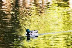 Mallard duck - Anas platyrhynchos - swims in the lake, beauty in. Mallard duck - Anas platyrhynchos - swims in the lake. Bird scene. Beauty in nature. Animal Stock Images
