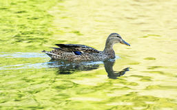 Mallard duck - Anas platyrhynchos - swims in yellow-green water,. Mallard duck - Anas platyrhynchos - swims in yellow-green water. Bird scene. Reflections in Royalty Free Stock Images