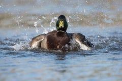 Mallard, Duck, Anas platyrhynchos. Water Birds - Mallard, Duck, Anas platyrhynchos Royalty Free Stock Photo