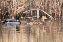 Mallard, Duck, Anas platyrhynchos. Water Birds - Mallard, Duck, Anas platyrhynchos Stock Photography
