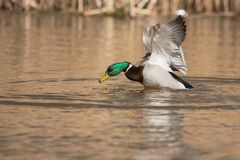 Mallard, Duck, Anas platyrhynchos. Water Birds - Mallard, Duck, Anas platyrhynchos Royalty Free Stock Images