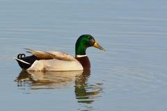 Mallard Duck & x28;Anas platyrhynchos& x29; on Water. In Winter Stock Image
