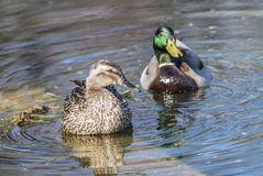 Mallard duck  (Anas platyrhynchos). Mallard or wild duck (Anas platyrhynchos) is a dabbling duck Stock Photography