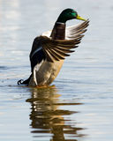 Mallard duck (Anas platyrhynchus). The wild duck bathes in water. A male Royalty Free Stock Images