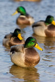 Mallard duck (Anas platyrhynchus) Stock Photo