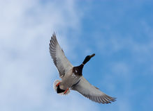 Mallard duck (Anas platyrhynchus). In the blue sky the drake with widely straightened wings flies Stock Image