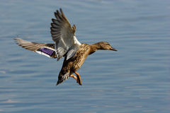 Mallard duck (Anas platyrhynchus). The female of a wild duck carries out landing Stock Images