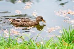 Mallard Duck, Anas platyrhynchus, in autumn lake. Mallard Duck, Anas platyrhynchus, in autumn lake Royalty Free Stock Image