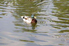 Mallard duck, Anas platyrhynchus, swimming male duck Royalty Free Stock Photography