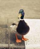 Mallard duck on the asphalt. Cute mallard duck on the asphalt Royalty Free Stock Photography