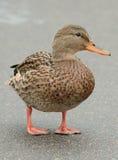 Mallard Duck on Asphalt Road. Full length shot of a cute female mallard duck standing on an asphalt road – vertical orientation Stock Photo