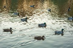 Group of wild ducks Anas platyrhynchos swimming along the lake on a warm autumn evening during sunset. Stock Photography
