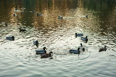 Group of wild ducks Anas platyrhynchos swimming along the lake on a warm autumn evening during sunset. Royalty Free Stock Photography