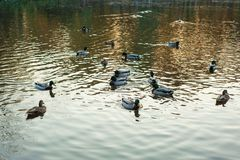 Group of wild ducks Anas platyrhynchos swimming along the lake on a warm autumn evening during sunset. Royalty Free Stock Photo