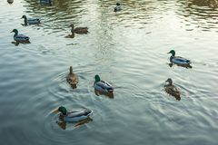Group of wild ducks Anas platyrhynchos swimming along the lake on a warm autumn evening during sunset. Royalty Free Stock Photos