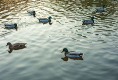 Group of wild ducks Anas platyrhynchos swimming along the lake on a warm autumn evening during sunset. Mallard duck on the autumn lake Royalty Free Stock Photography