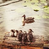 Mallard duck and baby ducklings. Vintage retro style Royalty Free Stock Photo