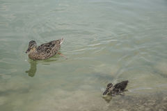 Mallard duck and baby swimming on lake. A mallard duck and baby swimming on lake Stock Image