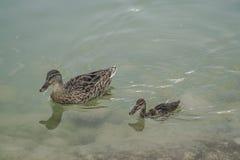 Mallard duck and baby swimming on lake Stock Image
