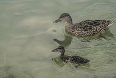 Mallard duck and baby swimming on lake Stock Photos
