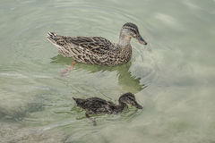 Mallard duck and baby swimming on lake Royalty Free Stock Photography