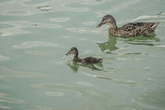 Mallard duck and baby swimming on lake. A mallard duck and baby swimming on lake Stock Images