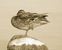 Mallard duck balancing on one leg on top of large rock.  Sepia tone Royalty Free Stock Image