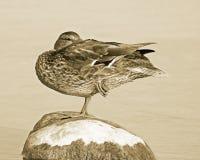 Mallard duck balancing on one leg on top of large rock. Sepia tone Royalty Free Stock Image