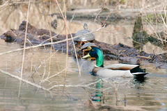 Mallard Duck. Basking in the sun on a lake with some painted turtles looking on Stock Image