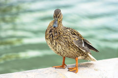 The mallard duck at Bassin Octogonal in Tuileries Garden at Pari Stock Photo