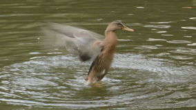 Mallard duck bathing. Energetic mallard duck flapping and splashing stock video footage
