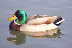 Mallard Duck in the bay. In New York on a winter day Royalty Free Stock Photo