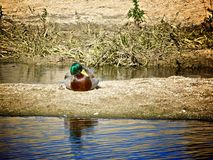 Mallard duck. Beautiful colored female mallard duck resting on sandbar of Southern California river Stock Photos