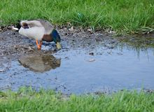 Mallard Duck. A beautiful male mallard duck in a water puddle.  Copy space Royalty Free Stock Image
