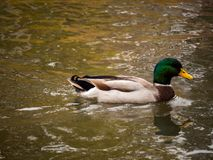 Mallard Duck. A beautiful mallard duck swims around on a cool autumn day Royalty Free Stock Images