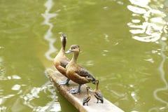 Mallard duck. Beautiful mallard duck in the water Stock Image