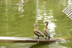 Mallard duck. Beautiful mallard duck in the water Royalty Free Stock Photos