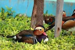 Mallard Duck. Beauty Mallard Duck in farm Royalty Free Stock Photography