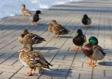Mallard Duck. Birds Mallard Duck. Shallow DOF Stock Image